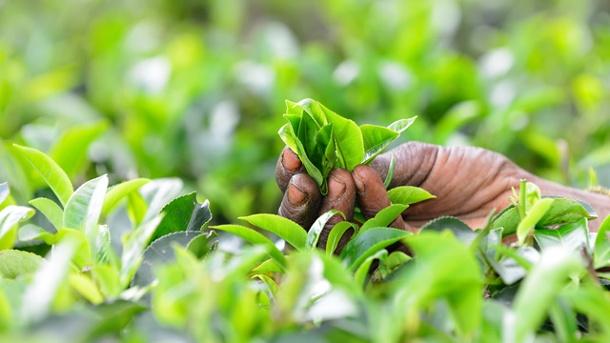 feuille-thé-sri-lanka