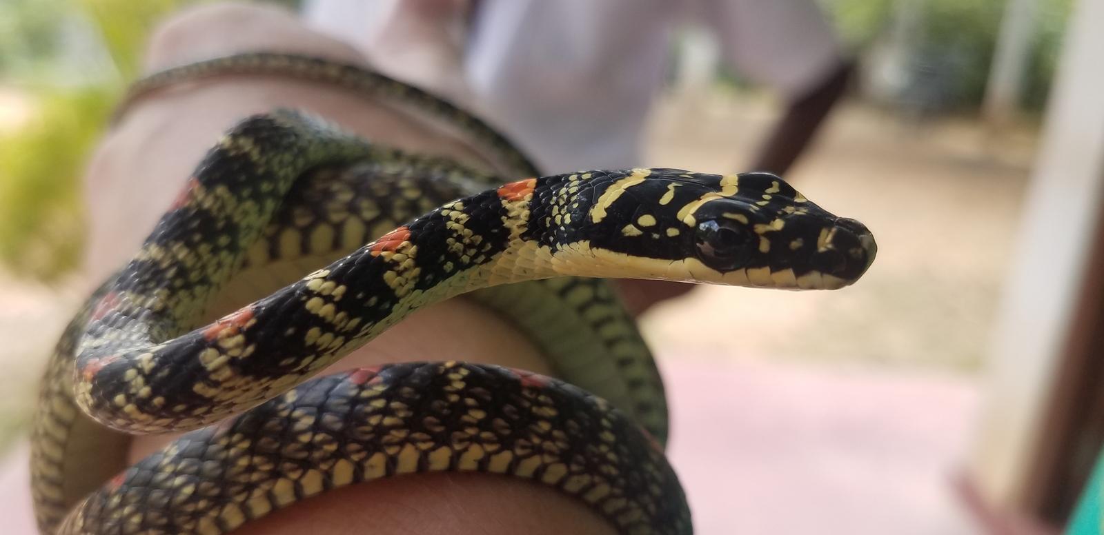 sri lanka authentique manju serpent weligama