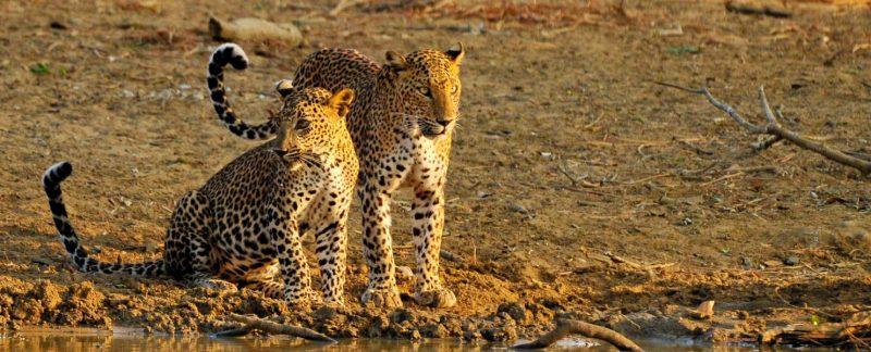 Léopards au Parc national de Yala