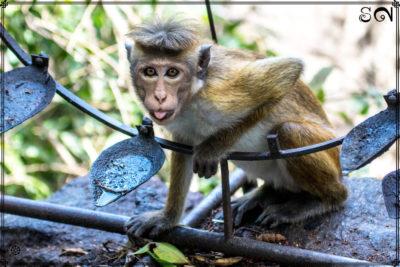foret-macaque-a-toque